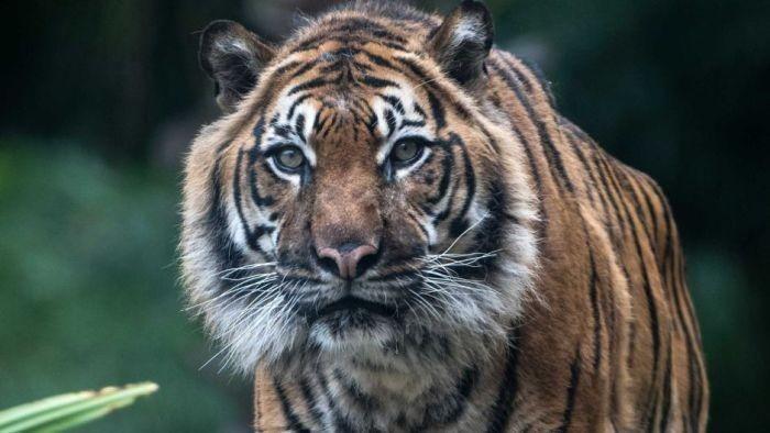 Foto: Harimau Sumatera (Australia Plus ABC)