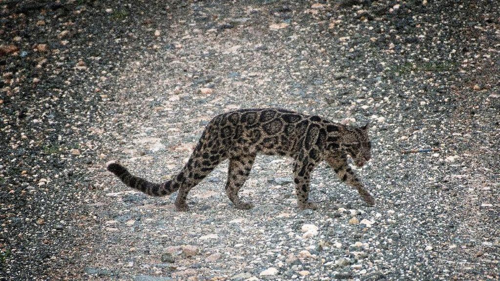 BBKSDA Riau: Hewan yang Dikuliti dalam Foto Viral Adalah Macan Dahan