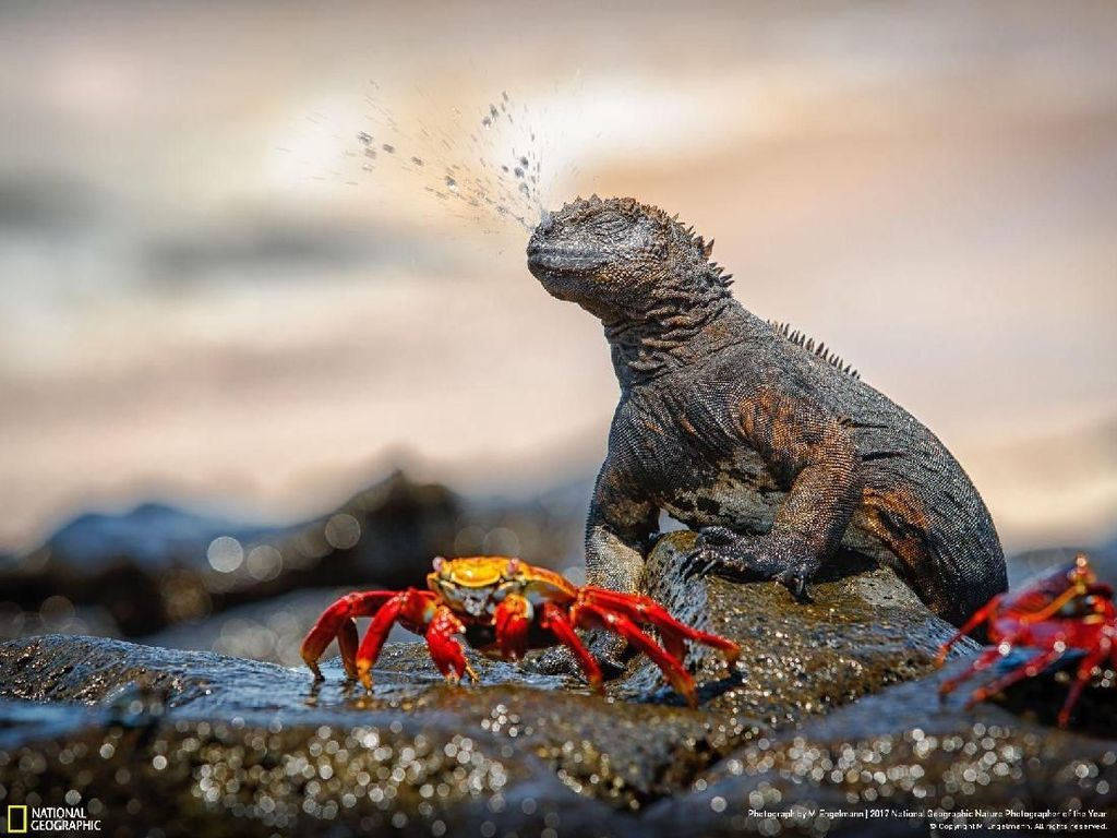Pernah melihat seekor Iguana bersin? Inilah fotonya yang berhasil diambil oleh fotografer M. Engelmann yang berjudul 'Sneeeze!' kategori Wildlife. Foto ini diambil Kepulauan Galapagos, Samudera Pasifik. Foto: National Geographic