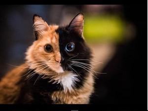 Kucing Berwajah Dua Warna Hebohkan Medsos