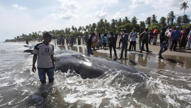Paus yang terdampar di Aceh /