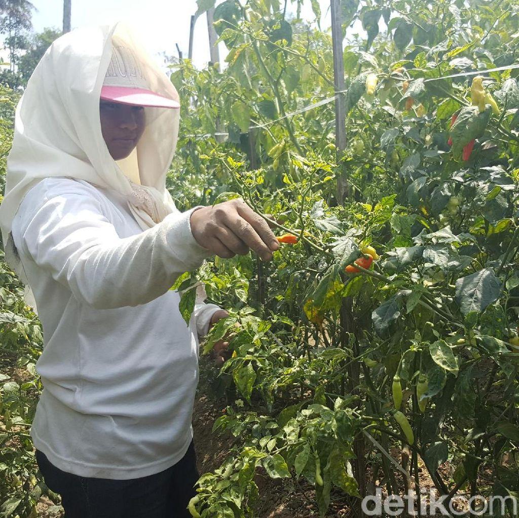Ini Penyebab Virus Gemini Serang Tanaman Cabai di Ngantang Malang