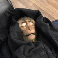 Curi Kopi Turis, Monyet Ini Pingsan 10 Jam