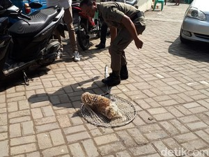 Kucing Liar di Johar Baru Dirazia, Petugas Sampai Naik ke Atap