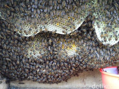 Ke Boyolali, Mengunjungi Budi Daya Lebah Jawa yang Mulai Langka