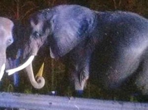 Truk Trailer Pengangkut Terbakar, Gajah Menunggu di Pinggir Jalan