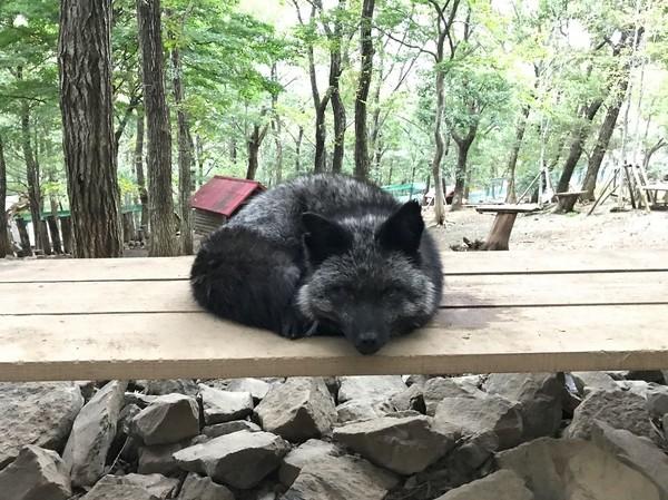 Rubah dianggap sebagai salah satu hewan sakral di Jepang. Mereka dianggap pembawa keberuntungan dan kemakmuran (Instagram/mika426)