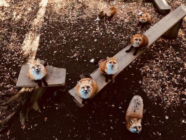 Adalah Zao Fox Village, sebuah wilayah yang terletak di kaki Gunung Shiroishi, Miyagi, Jepang (Instagram/g931201)