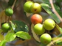 Punya Banyak Manfaat, Jujube Diprediksi Jadi <i>'Super Fruit'</i> Populer