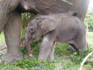 Kabar Gembira, 1 Anak Gajah Lahir di Taman Nasional Tesso Nilo Riau