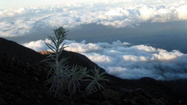 Foto: Di puncak Gunung Agung, kita juga bisa menikmati keajaiban alam bunga abadi Edelweis yang tumbuh liar. Biarkan bunga ini tumbuh alami, jangan sampai dipetik ya traveler! (Dinan Nurhayat/dTraveler)