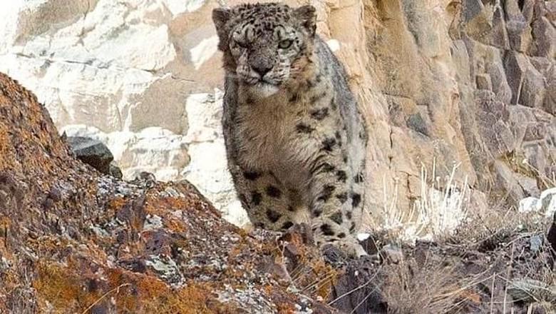 potret macan tutul salju