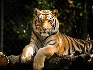 Niat Beri Makan Harimau dengan Tangan, Kakek Ini Kehilangan Dua Jari