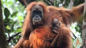 Orangutan Tapanuli, Spesies Baru Orangutan yang Masa Depannya Terancam