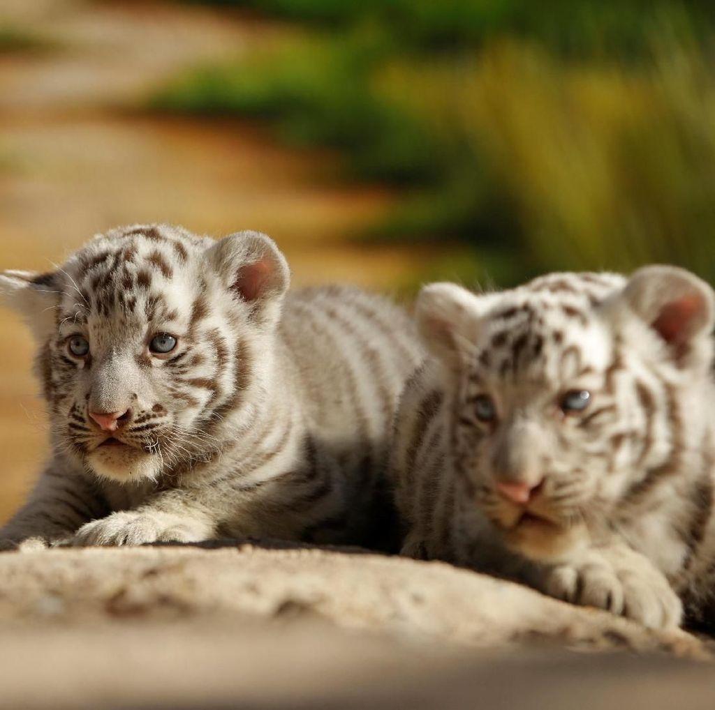 Sepasang Bayi Harimau Ini Bikin Pengunjung Taman Gemas