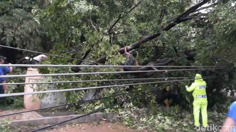 Pohon Mangga di Kota Pasuruan Tumbang, 5 Tiang Listrik Jadi Korban