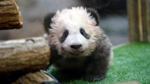Lahir di Prancis, Bayi Panda Menggemaskan Ini Diberi Nama Yuan Meng