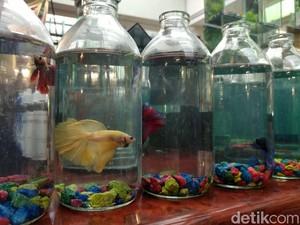 Foto: Pameran Ikan Hias Warna-warni & Langka di Bandung
