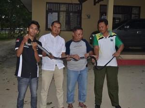 Warga di Gorontalo Tangkap King Cobra yang Makan Hewan Peliharaan