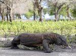 JK soal Rencana Penutupan TN Komodo: Intinya Rusa Butuh Makan