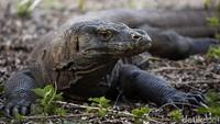 Tujuan di Balik Penutupan Taman Nasional Komodo