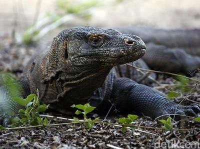 Bukan Semua Area Taman Nasional, Hanya Pulau Komodo yang Akan Ditutup