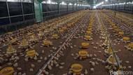 10 Juta Telur Siap Tetas akan Dimusnahkan Demi Dongkrak Harga Ayam