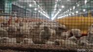 Cegah Kecanduan Gadget, Pemkot Siapkan 2.000 Anak Ayam untuk Siswa