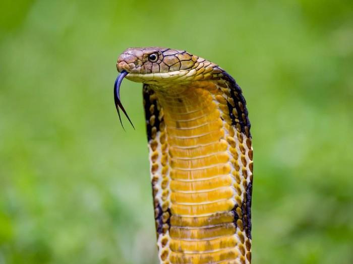 Racun ular king kobra sangat mematikan karena menyerang sistem saraf dan sistem peredaran darah manusia. Foto: Ilustrasi/thinkstock