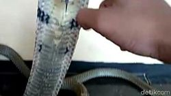 ABG Syahril yang Dipatuk Ular King Kobra Hobi Pelihara Hewan