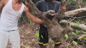 Sungguh Miris, Ini yang Dilakukan Pemburu Sloth di Peru