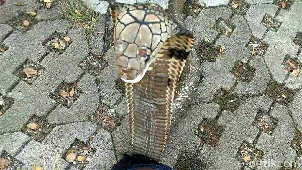 Ini yang Harus Dilakukan Ketika Digigit King Cobra Seperti ABG Syahril