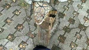 Tragedi ABG Syahril dan King Kobra, Jangan Pelihara Hewan Buas!