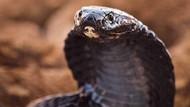 Mengenal King Kobra, Ular Berbisa Terpanjang yang Mematikan