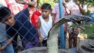 King Kobra Amat Mematikan, Kok Masih Banyak yang Pelihara?