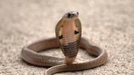Ular King Cobra yang Gigit Mati Pemuda Bandung Milik Orang Lain