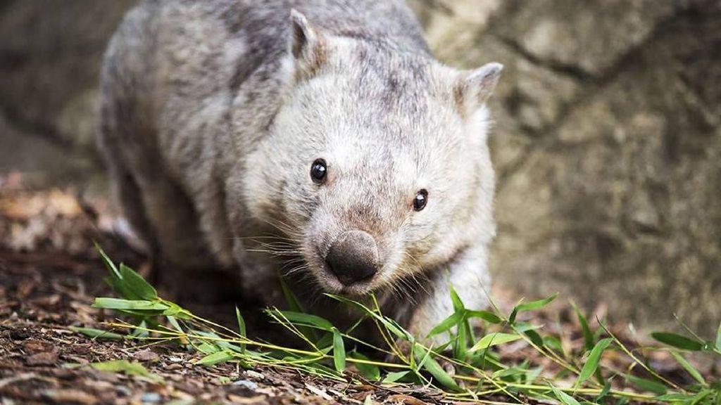 Foto: Ini Winnie, Wombat Tertua Berusia 31 Tahun di Australia