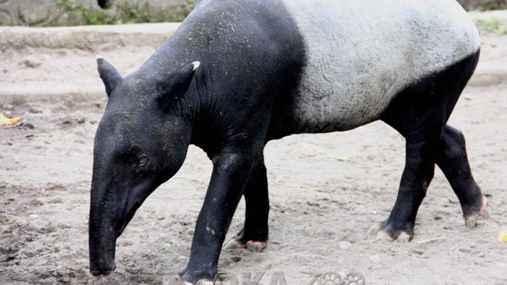 Tentang Tapir yang Bikin Geger karena Nyasar ke Kolam Ikan