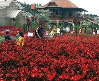 (Kebun Begonia Glory)