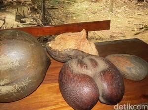 Kelapa dari Seychelles, Bentuknya Seperti Kelamin Pria dan Pantat