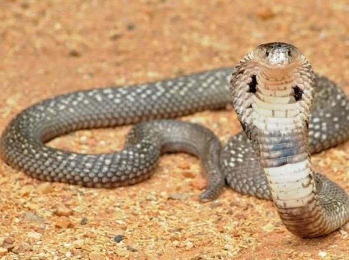Kobra merupakan jenis ular berbisa yang terkenal di India.  (Foto: CNN)