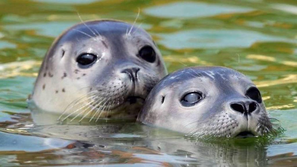 Sentuh Anjing Laut, Turis Ini Kena Denda Rp 21 Juta
