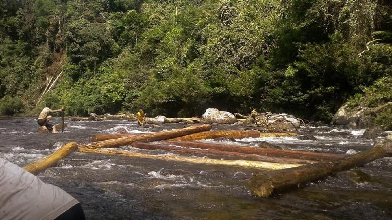 Begini Lika-liku Illegal Logging Hutan Suaka Rimbang Baling Riau