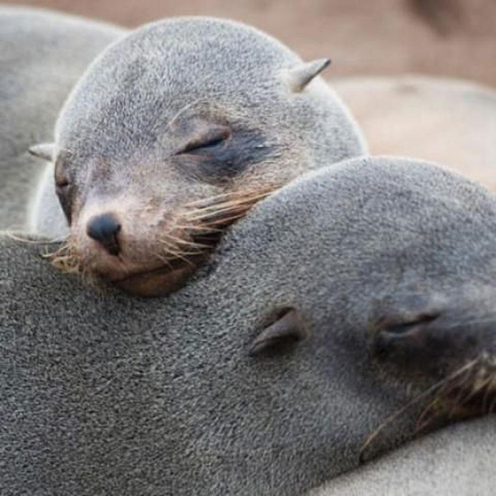 Keji! 6 Bayi Anjing Laut Mati Dipenggal di Selandia Baru