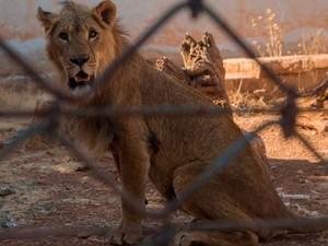 Singa hingga Beruang di Suriah Dipindah ke Kebun Binatang Yordania