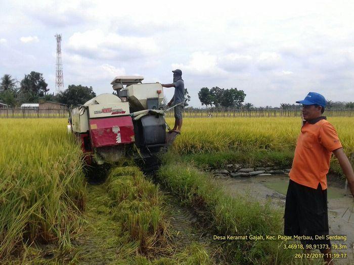 Foto: Panen Padi di Desa Kramat Gajah, Deli Serdang (Dok. Kementan)