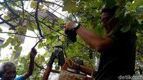 Foto: Aksi Sandi Panen Anggur Warga di Cempaka Putih