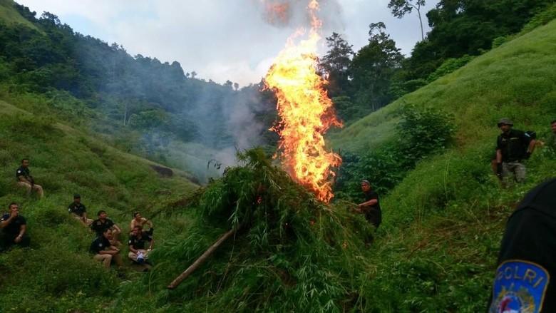 Ladang Ganja 9 Hektare di Aceh Dimusnahkan, Asap Membubung Tinggi