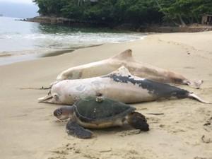 Foto: Tragis! 88 Lumba-lumba di Teluk Sepetiba Brasil Mati