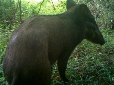 6 Jenis Babi di Indonesia, Babi Kutil Sampai Babi Berjenggot